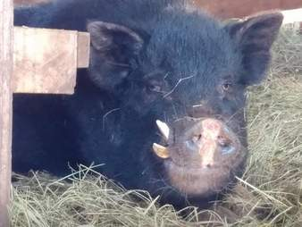 Potbelly pig in stall