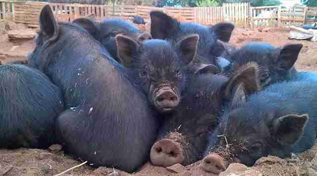 Group of rescue pigs snuggling