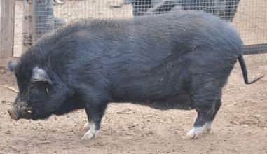 Full grown potbelly pig