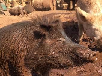 Pigs enjoying the mud