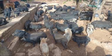 Rescue pigs at South African sanctuary