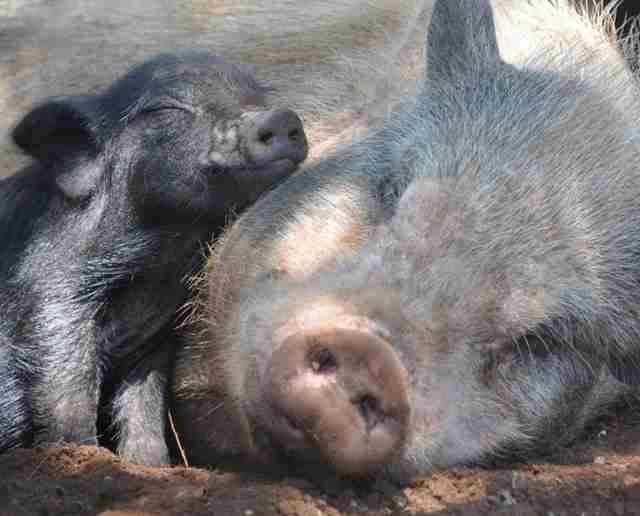 Rescued pigs at sanctuary in South Africa