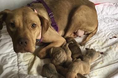 pregnant rescue dog