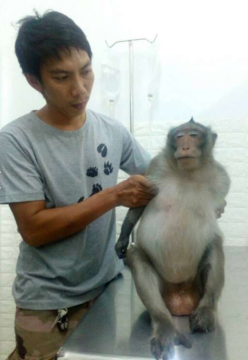 Overweight macaque at vet clinic