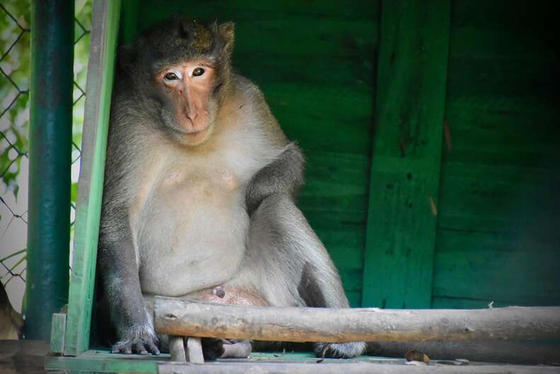 Macaque monkey at rescue center