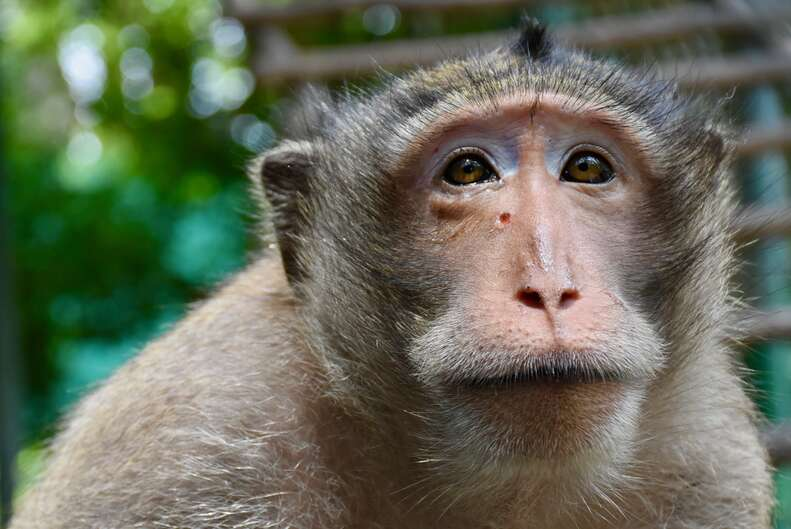 Macaque monkey recovering from an injury