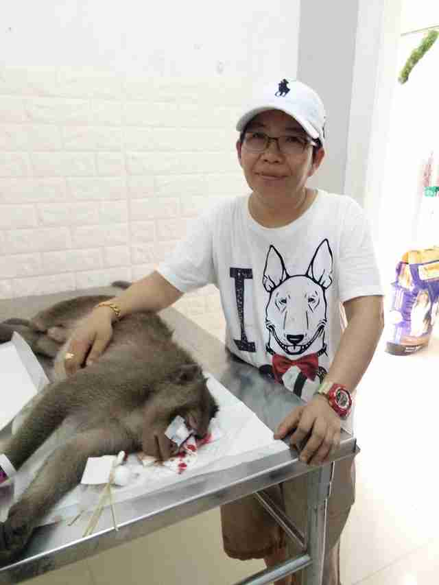 Injured macaque at vet clinic