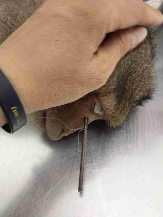 Injured macaque at vet office