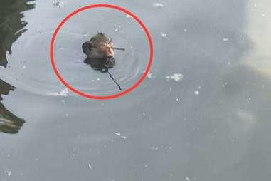 Injured monkey in water