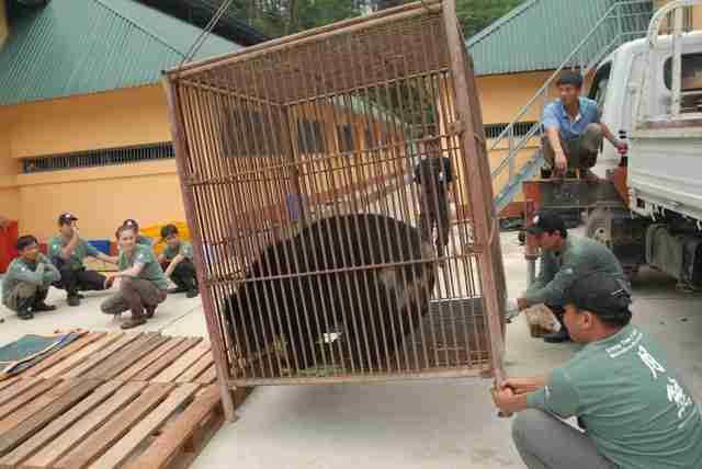 Rescued bile bear being transported