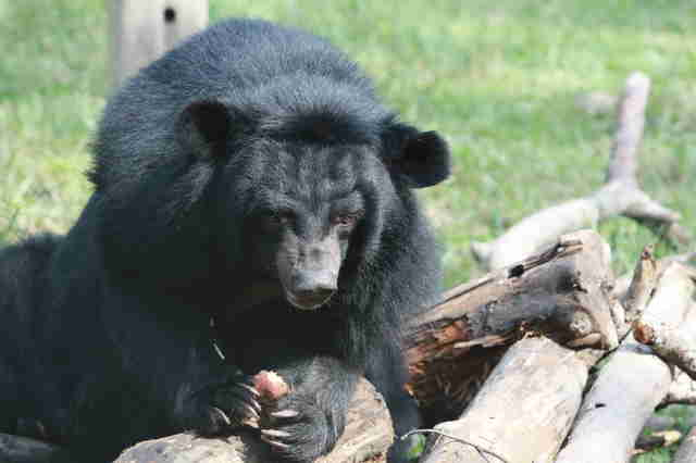 Rescue bile bear at sanctuary