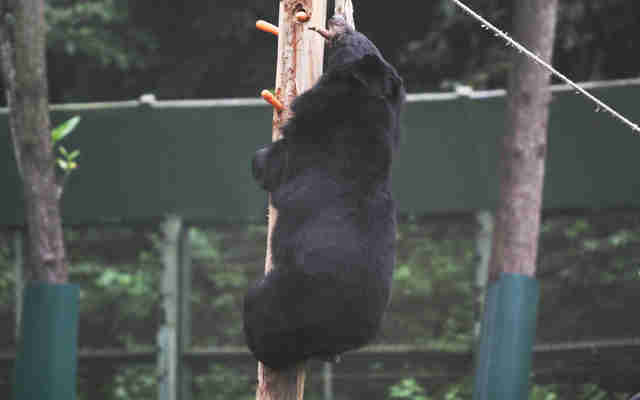 Rescued bear from bile farm