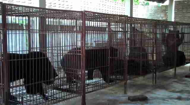 Bears in cages at bile farm