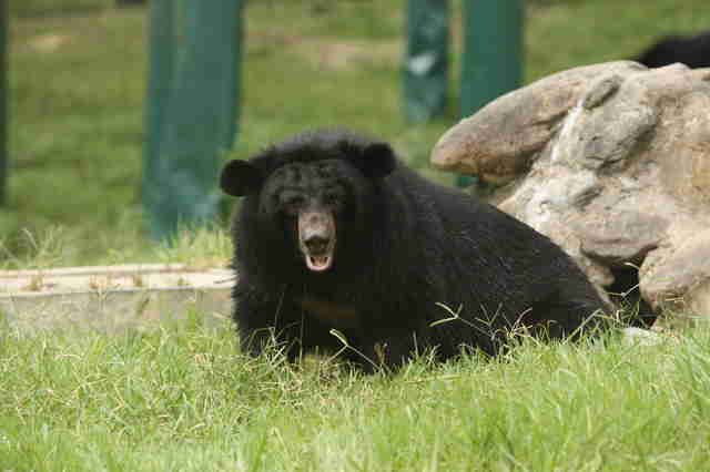 Rescued bile bear at sanctuary