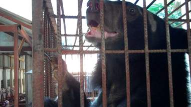 Bear trapped in cage at bile farm