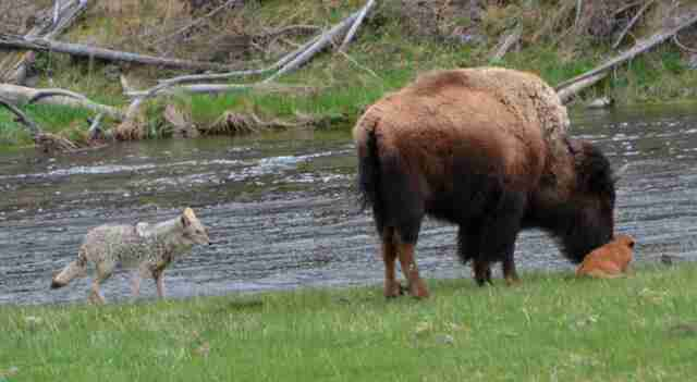 Yellowstone bison protects baby