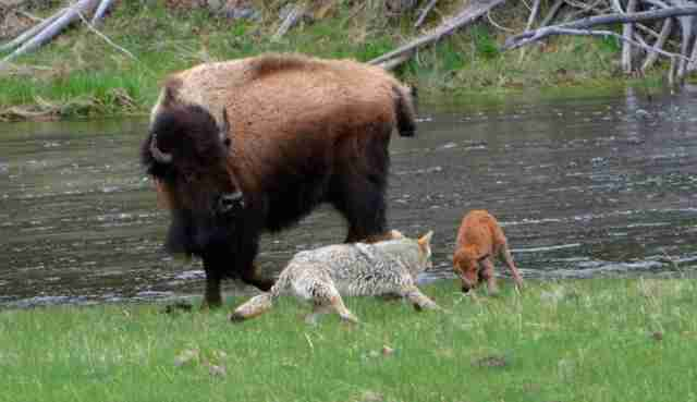 Yellowstone bison protects newborn from coyote