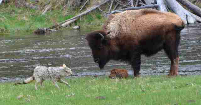 Yellowstone bison protects baby from coyote