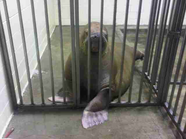 Smooshi, the sick walrus at Marineland