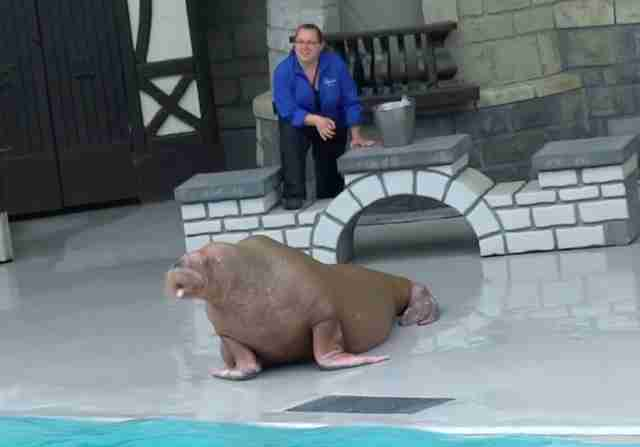 Smooshi the walrus performing at Marineland