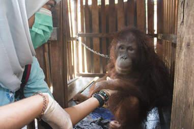 Orangutan kept in crate in Borneo