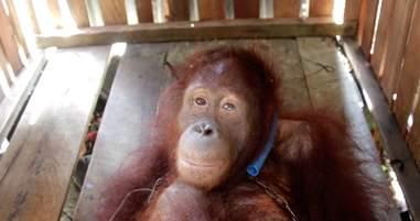 Endangered orangutan kept as pet in Borneo