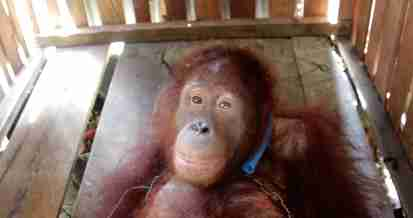 Endangered orangutan kept as pet in Borneo