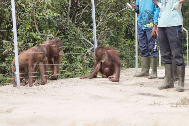 Orangutan rescued from crate meets friends