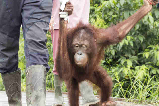 Orangutan with rescuers