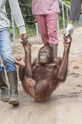 Orangutan meets new friends at rescue center in Borneo