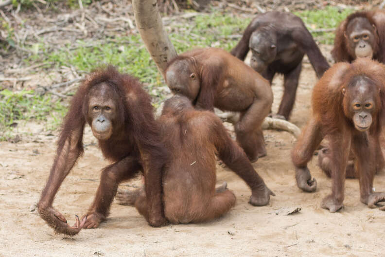 Rescued orangutan with her new friends
