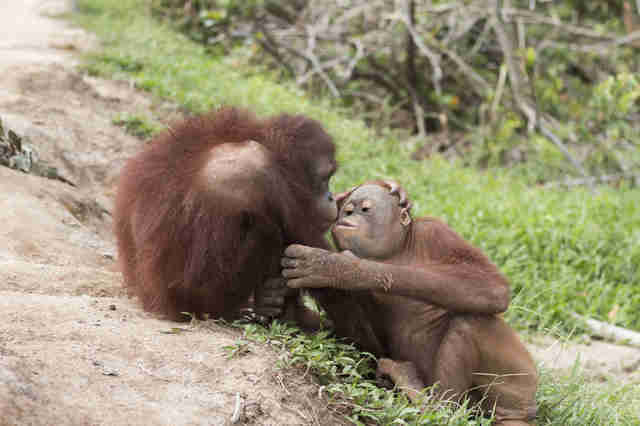 rescued orangutan kisses her new friend