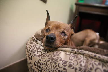 Senior dog lying in bed
