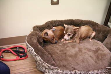 Senior dogs cuddling in bed