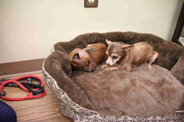 Senior dogs cuddling in bed