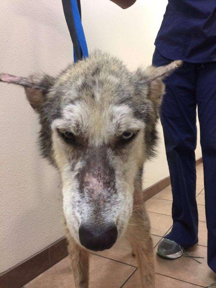 Dog with mange at kill shelter