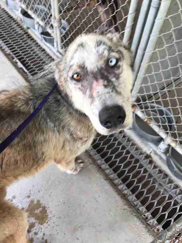 Dog with mange and bicolored eyes at shelter