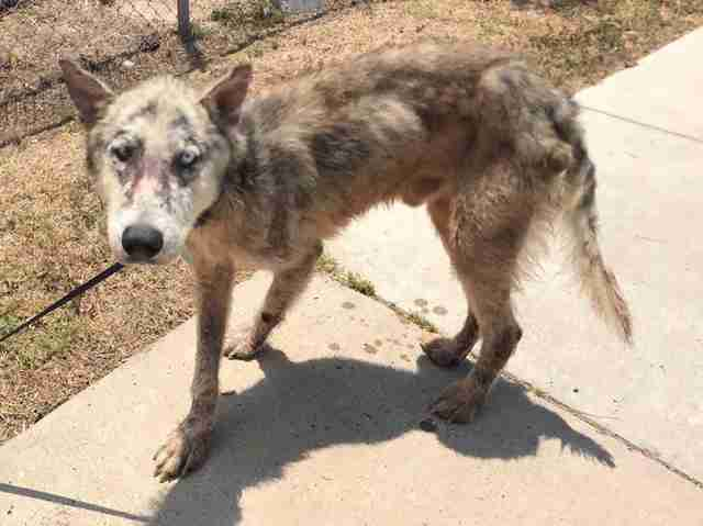 Dog with mange saved from kill shelter in Texas
