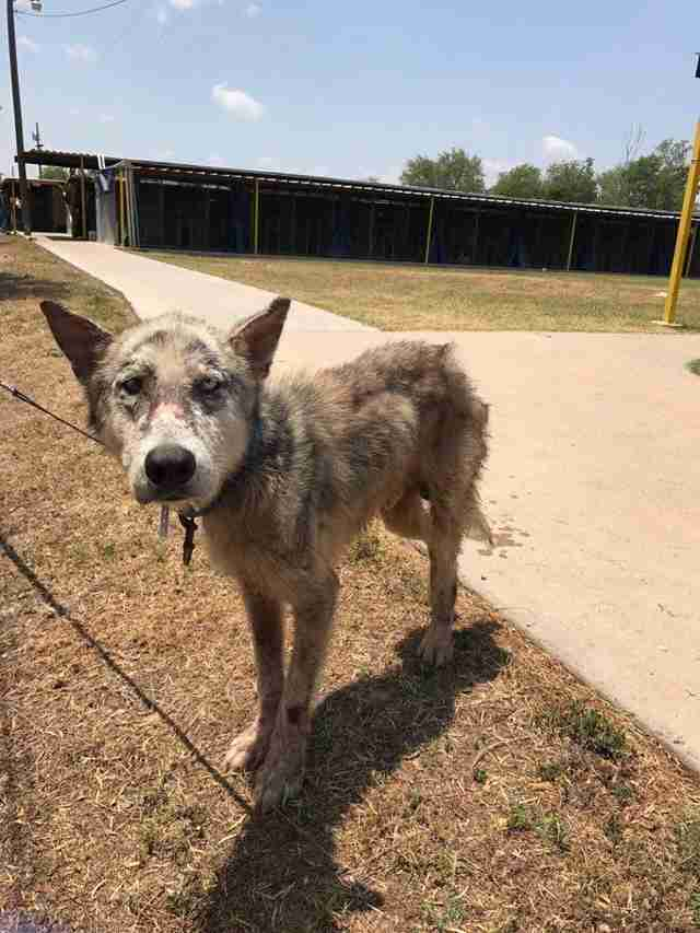 Dog with mange saved from kill shelter