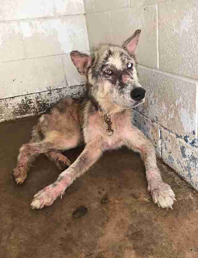 Dog with mange at kill shelter in Texas