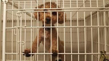 Rescue miniature poodle