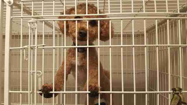 Rescue miniature poodle