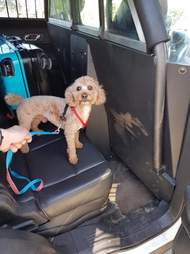 Rescued poodle locked in suitcase