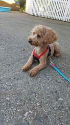 Rescued poodle