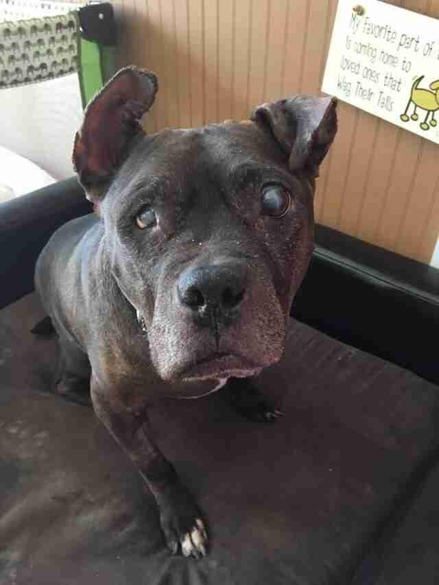 blind pit bull