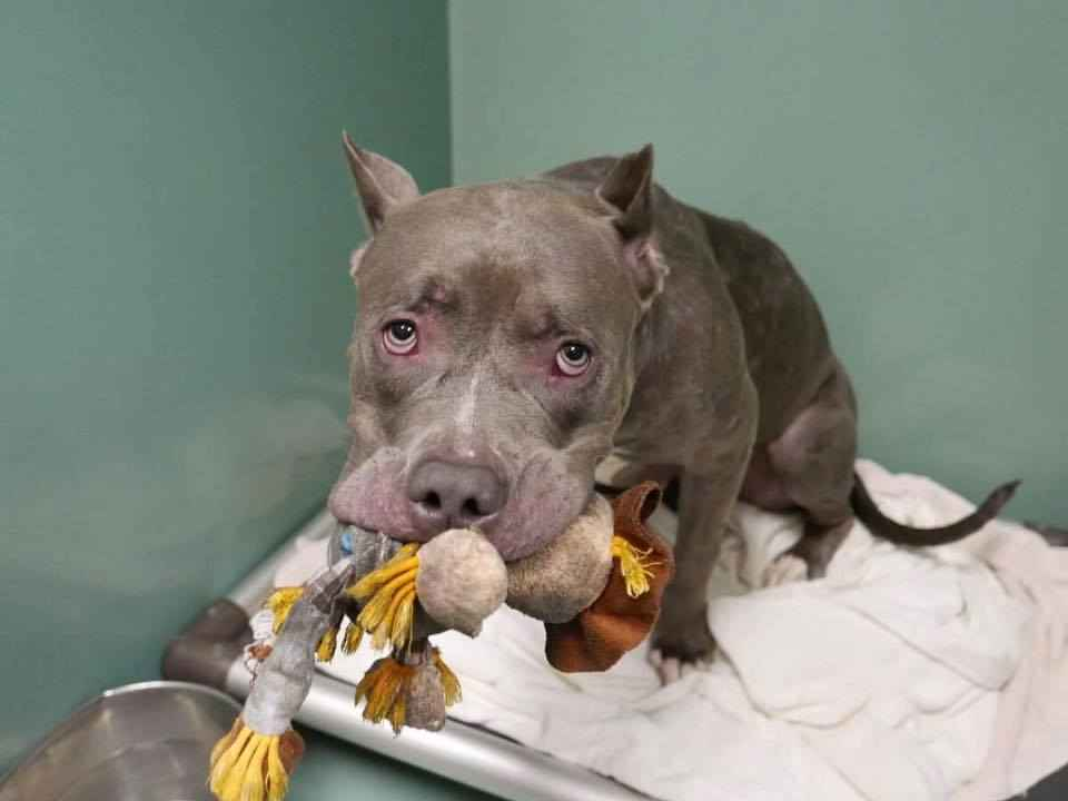 Dog Abandoned By Her Family Won T Let Go Of Her Favorite Toy The Dodo