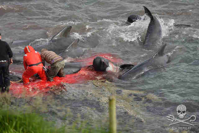 People killing pilot whales in Faroe Islands