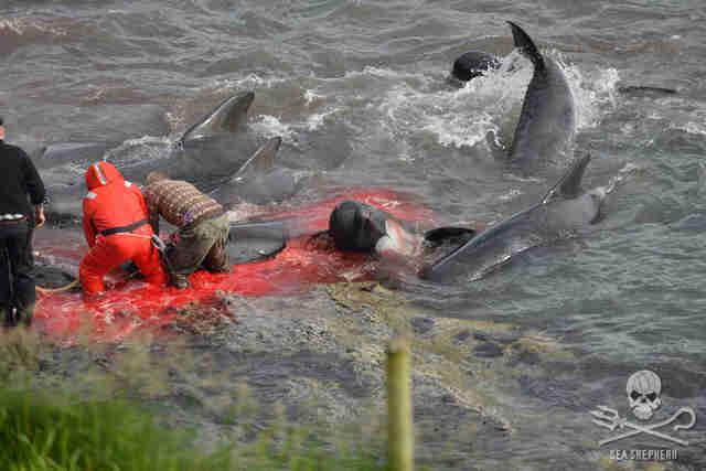 People killing pilot whales in Faroe Islands