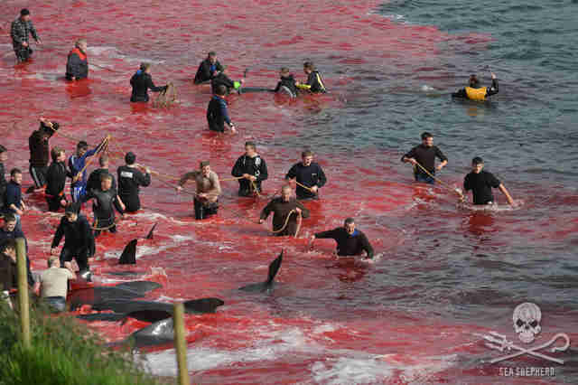Whale hunters in the Faroe Islands