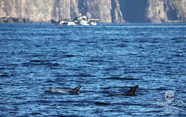 Whales swimming off coast of Faroe Islands